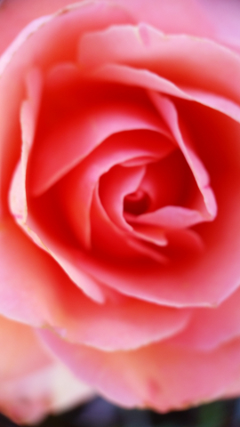 "Soft rose photo ""By Any Other Name"" from artist April Hoff 20170702_103355"